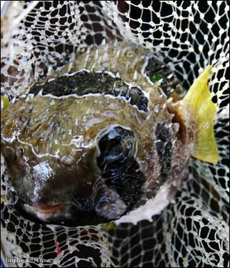 老虎鱼的照片,图片版权属于图行三亚